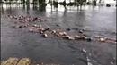 Rebanho inteiro de gado sendo arrastado rio abaixo pelas enchentes na Argentina - Assista