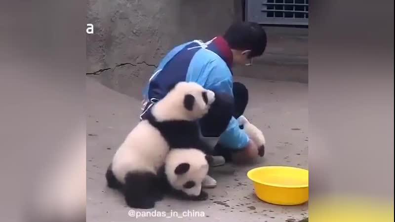 Работа мечты мужчина ухаживает за пандами в китайском зоопарке
