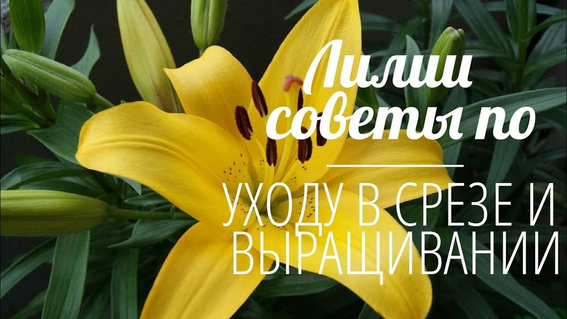 Флористика Лилии в срезе Выращивание Лилии