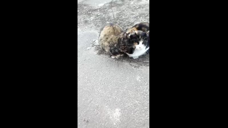 котик ласкает кису по команде кис кис