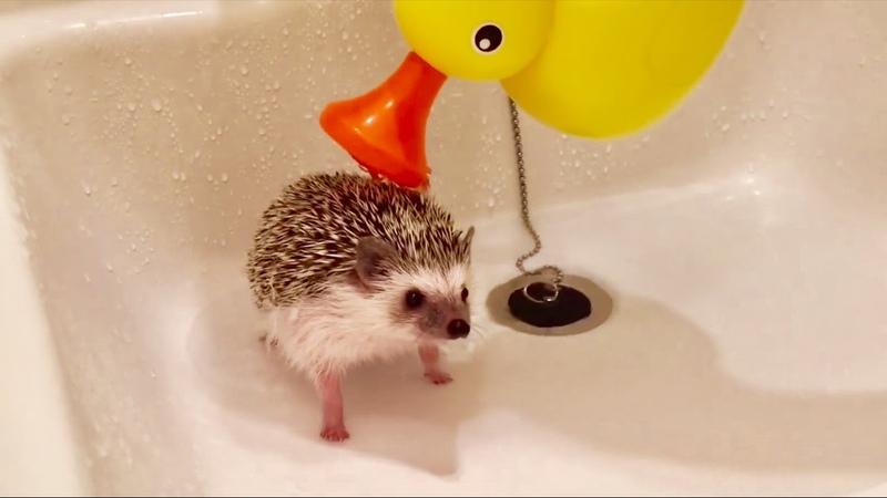 ハリネズミのお風呂の入れ方 Hedgehog's bath