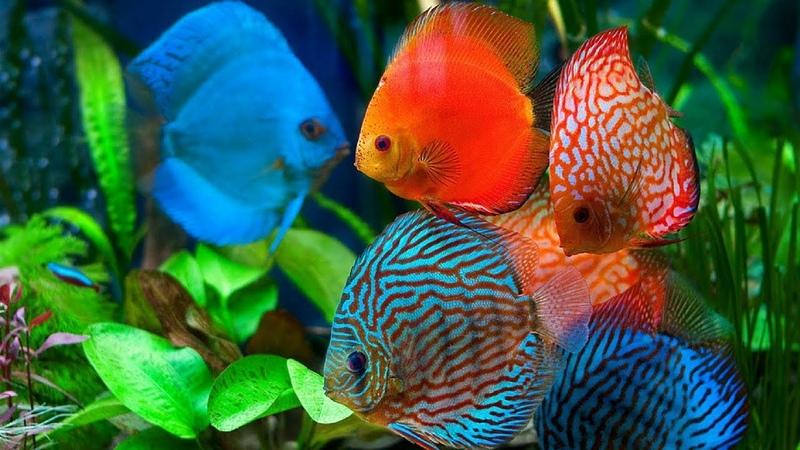 Discus Fish, The King of Freshwater Aquarium/Tank