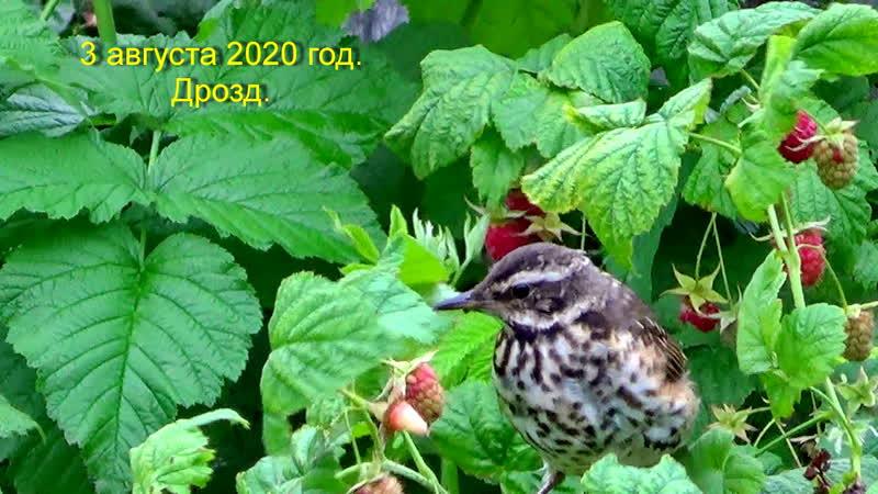 3 августа 2020 год Пинега Дрозд в малиннике