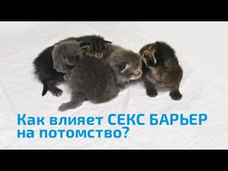 Как влияет СЕКС БАРЬЕР на репродуктивную функцию кошек