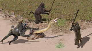 OMG! Capuchin Monkey Save Mouse From Banded Krait Snake Hunt | Amazing Python vs Big Cat