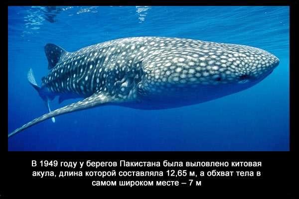 валтея - Интересные факты о акулах / Хищники морей.(Видео. Фото) DQZnmqWz_rs