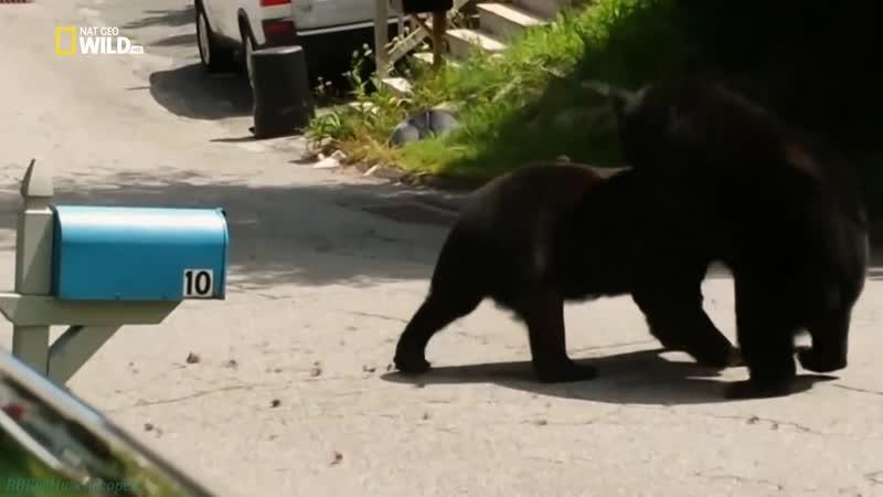 Бойцовский клуб для животных 14 Битвы за территорию Познавательный природа 2015