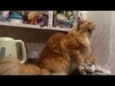 Прикол. Кот ругается с хозяйкой