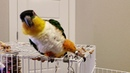 Bernie, the Caique, really likes dancing to Shakira!!