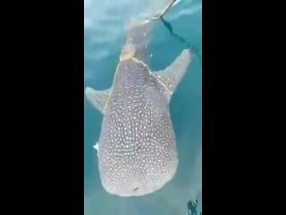 Детёныш акулы приплыл к людям за помощью!