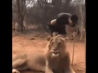 Лев чихнул, а мужик обделался😆