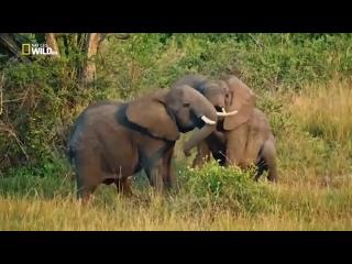 Nat Geo Wild  Дикая Уганда 1080р