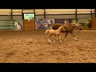 """Видео от Пони-клуб """"Верона"""". Пони и миниатюрные лошади."""