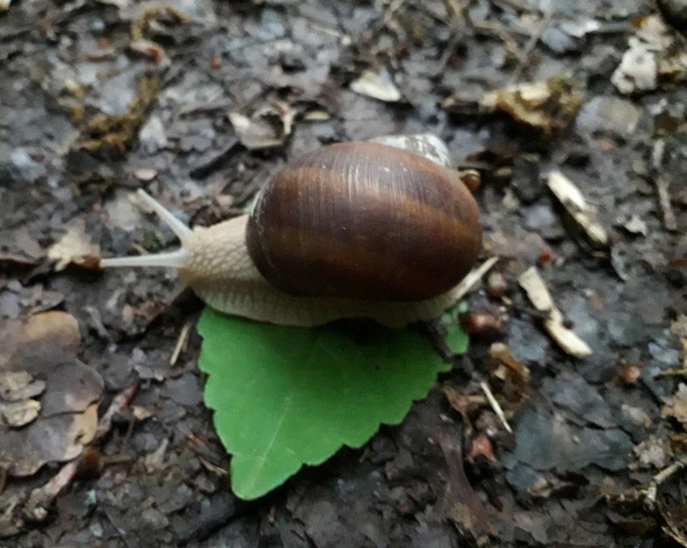 улитку на листик посадила я, она просто ползла по дорожке :)