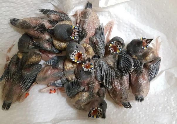 Инопланетные птенцы Гульдова амадина Птенцы у большинства амадин имеют своеобразный рисунок открытого рта и светящиеся фосфоресцирующие точки, служащие в полутемном гнезде ориентиром для