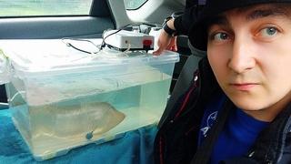 Такую большую аквариумную рыбку я не перевозил!
