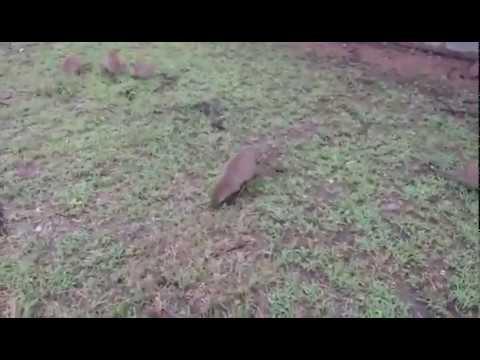 Mongooses Ben Shegesha Sunset Africa Tours Safaris