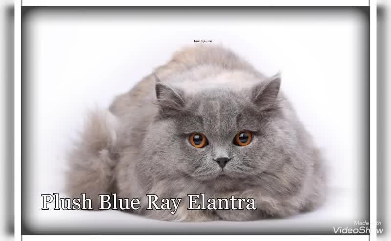 Британская кошка Elantra Plush Blue Ray.