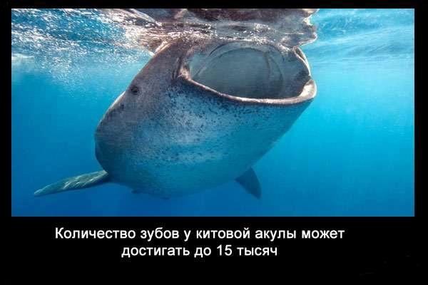 валтея - Интересные факты о акулах / Хищники морей.(Видео. Фото) 3tYEeOCZoMo